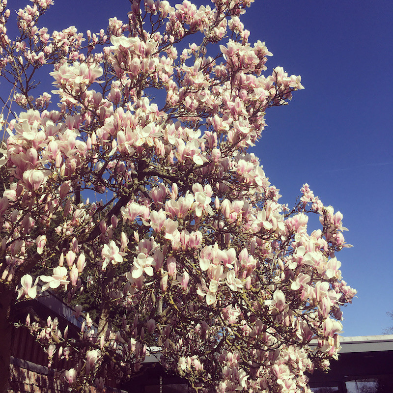 Magnolia Tree Norfolk Mead Walled Garden